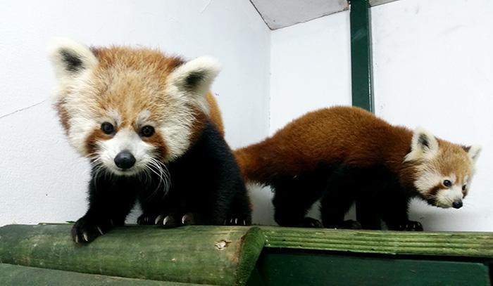 İşte Türkiye'nin ilk Kızıl Pandaları