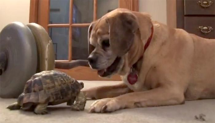 Kaplumbağa bakın köpeği ne hale getirdi