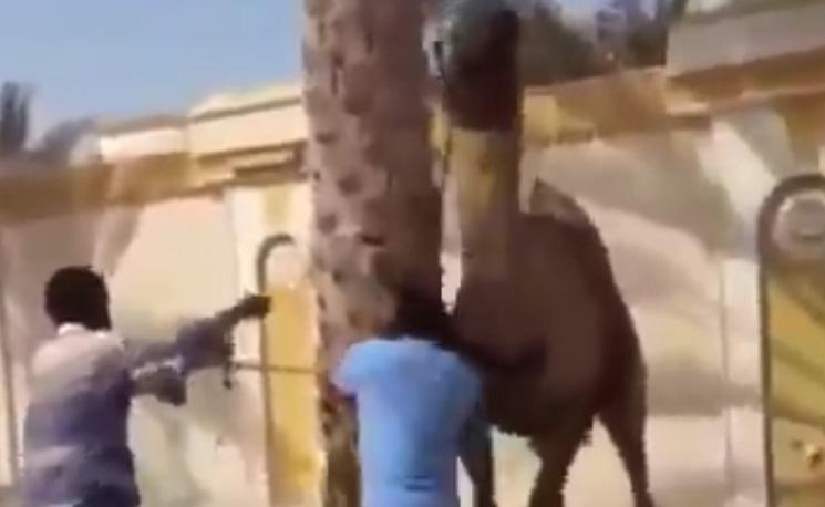 Sinirlenen deve öyle bir şey yaptı ki!