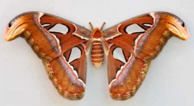 Yılanı korkutan dünyanın en büyük kelebeği
