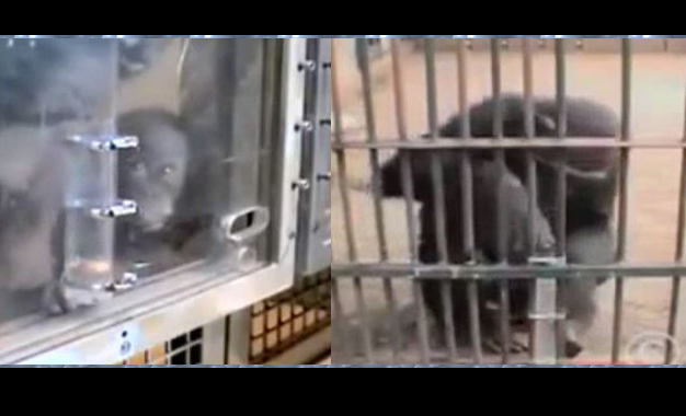 Maymunun zekası akıllara durgunluk verdi