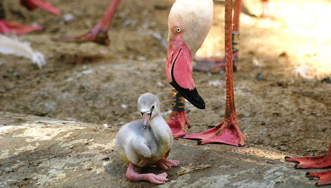 Pembe flamingoların yavru heyecanı